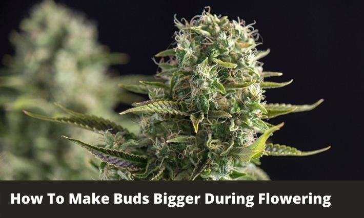 How To Make Buds Bigger During Flowering