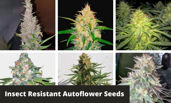 insect resistant autoflower seeds
