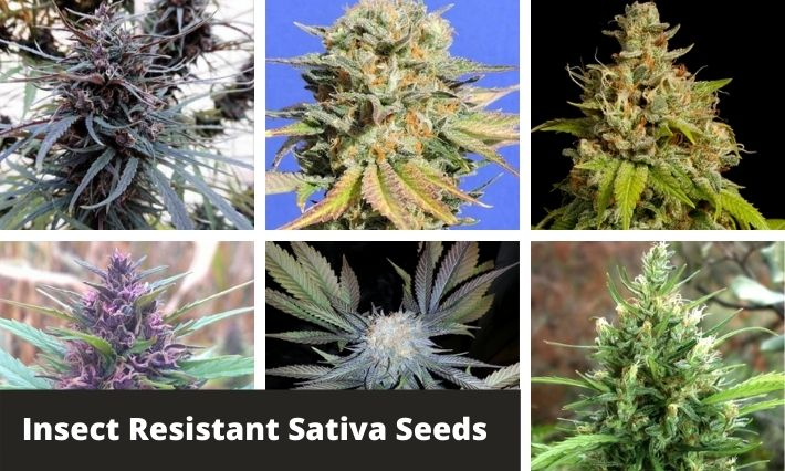 insect resistant sativa strains
