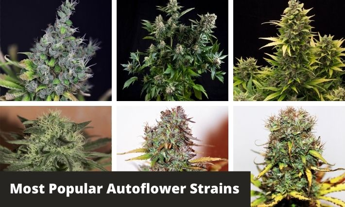 most popular autoflower strains