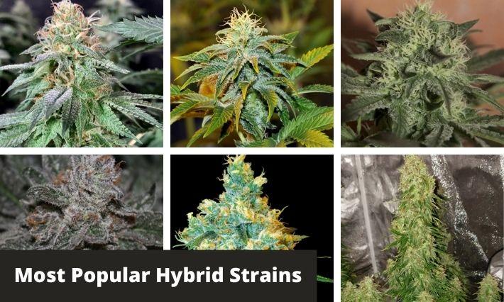 most popular hybrid strains