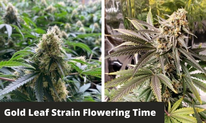 Gold Leaf Strain Flowering Time