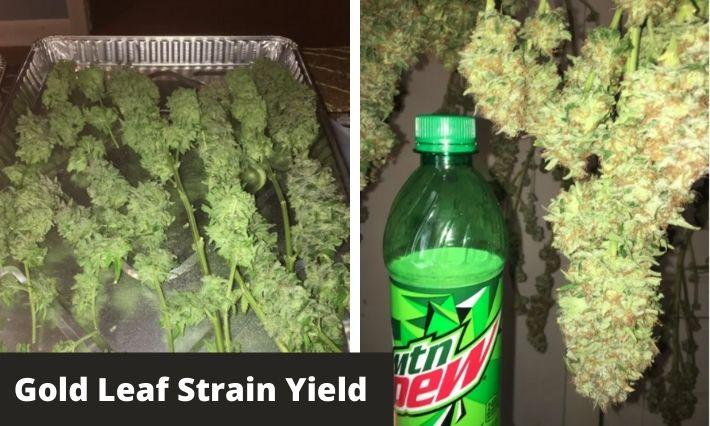 Gold Leaf Strain Yield