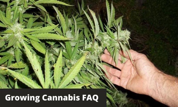 growing cannabis faq