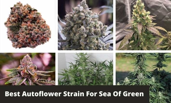 best autoflower strain for sea of green