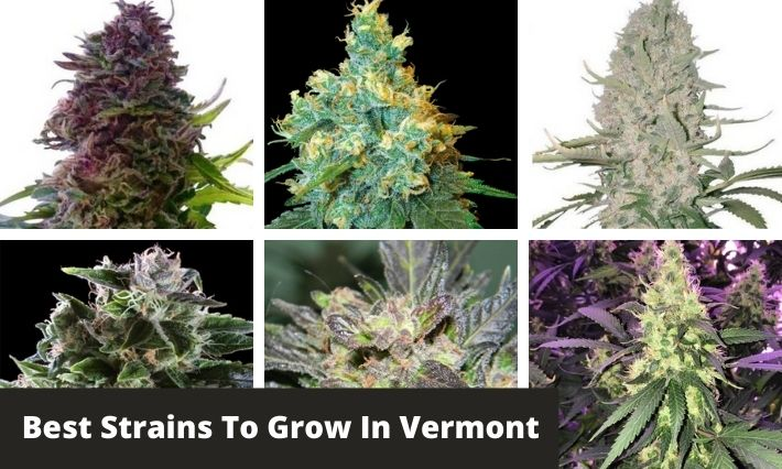 best strains to grow in vermont