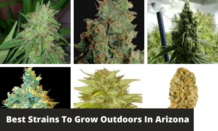 best strains to grow outdoors in arizona