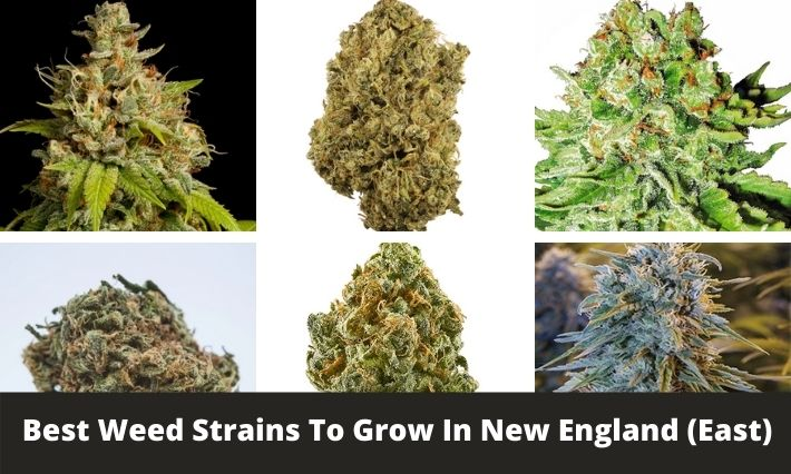 best weed strains to grow in new england east