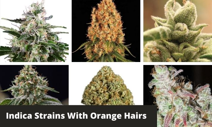 indica strains with orange hairs