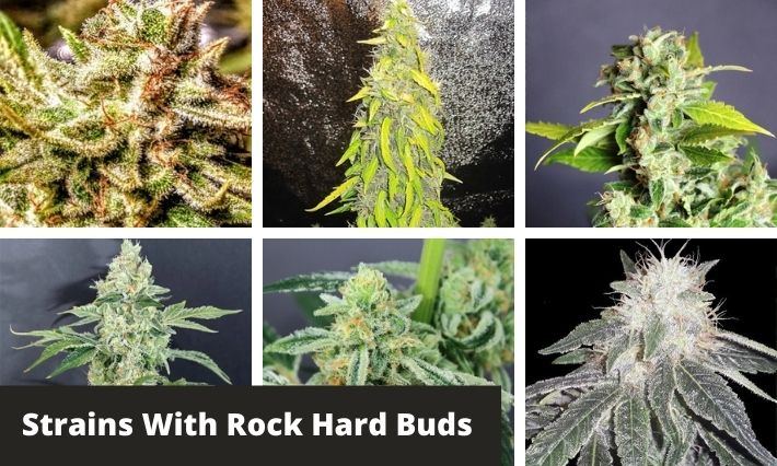 strains with rock hard buds