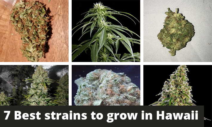 best strains to grow in hawaii