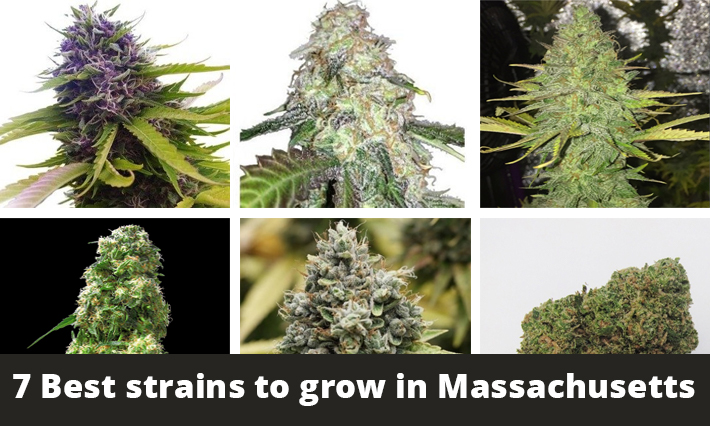 best strains to grow in massachusetts