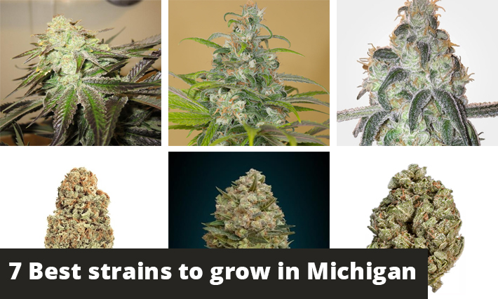best strains to grow in michigan